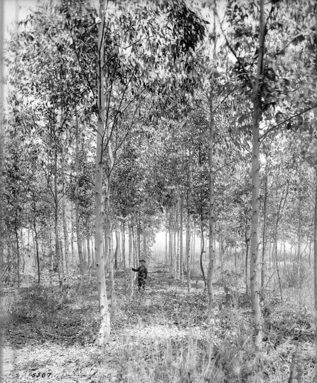 19 Abbot Kinney Eucalyptus grove post 1887